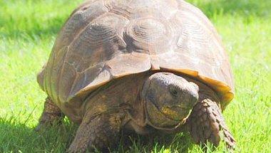 Emmanuelle the Tortoise